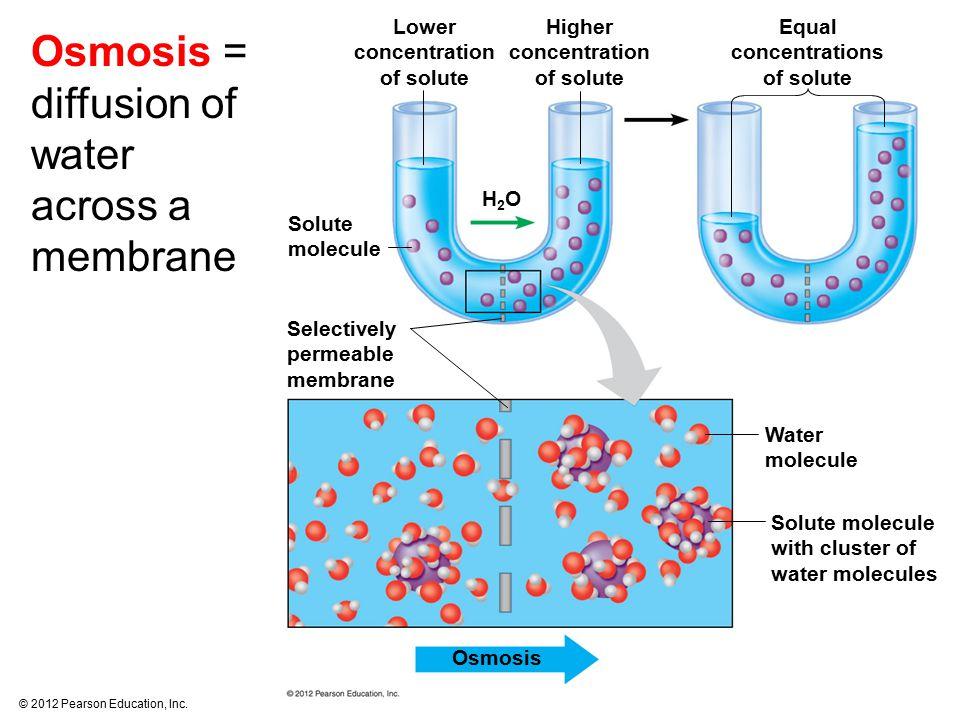 © 2012 Pearson Education, Inc. Osmosis Solute molecule with cluster of water molecules Water molecule Selectively permeable membrane Solute molecule H