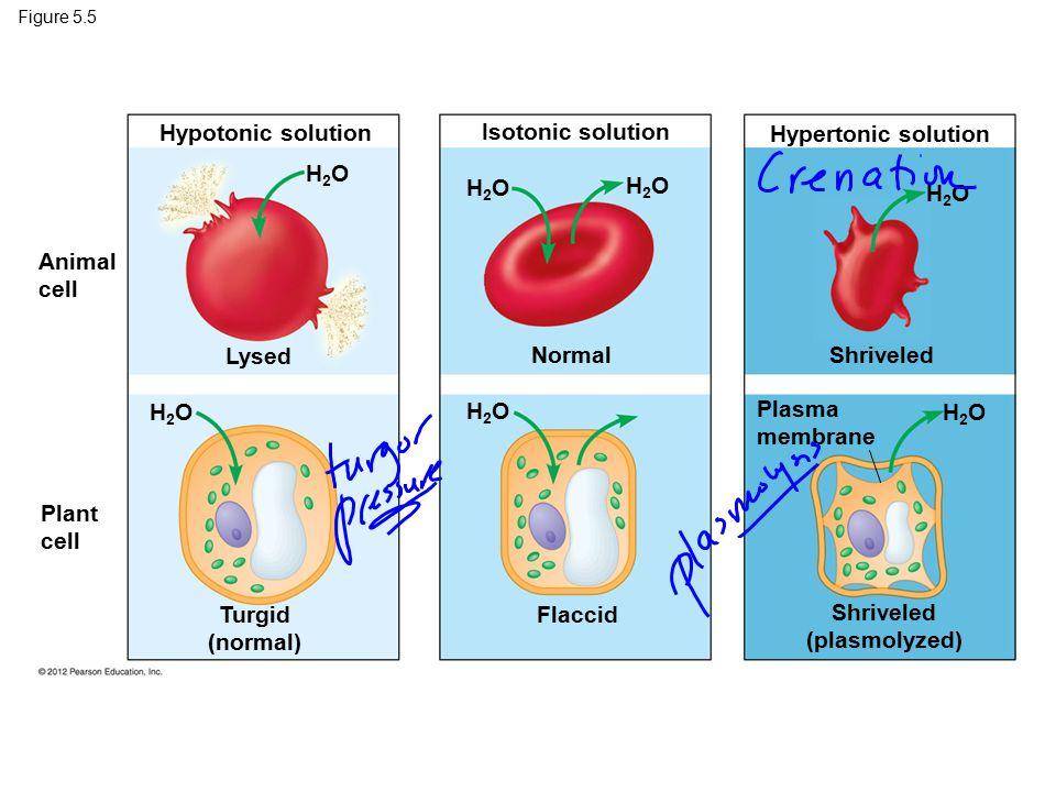 Figure 5.5 Animal cell Plant cell Turgid (normal) Flaccid Shriveled (plasmolyzed) Plasma membrane Lysed NormalShriveled Hypotonic solution Isotonic so