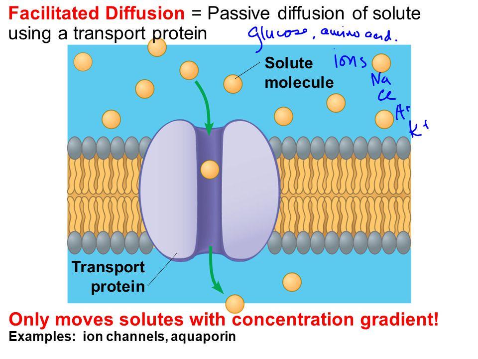 Facilitated Diffusion = Passive diffusion of solute using a transport protein Solute molecule Transport protein Only moves solutes with concentration