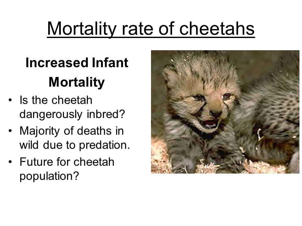Mortality rate of cheetahs Increased Infant Mortality Is the cheetah dangerously inbred? Majority of deaths in wild due to predation. Future for cheet