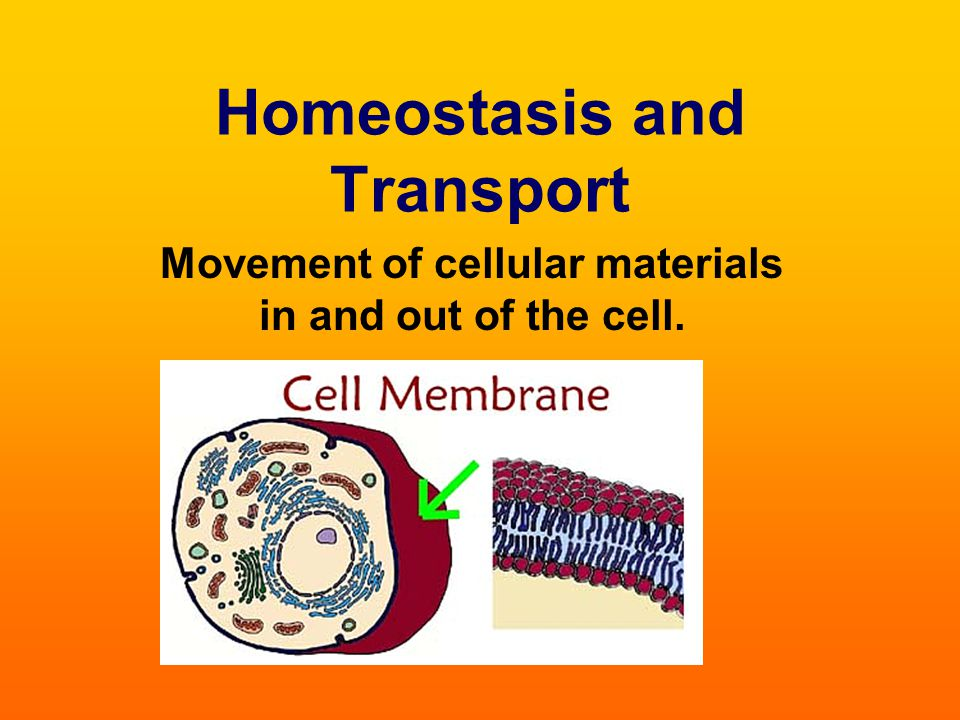 Cell membranes help cells maintain homeostasis by controlling what substances may enter or leave cells.