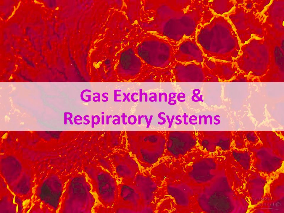 Terrestrial adaptations air tubes branching throughout body gas exchanged by diffusion across moist cells lining terminal ends, not through open circulatory system Tracheae