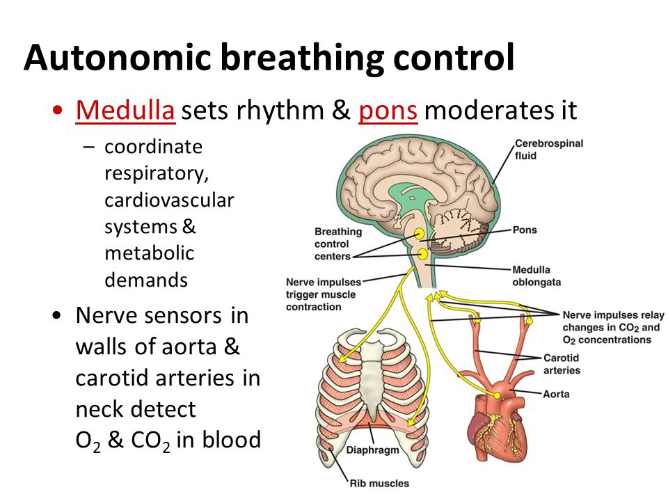 Mechanics of breathing Air enters nostrils –filtered by hairs, warmed & humidified –sampled for odors Pharynx  glottis  larynx (vocal cords)  trachea (windpipe)  bronchi  bronchioles  air sacs (alveoli) Epithelial lining covered by cilia & thin film of mucus –mucus traps dust, pollen, particulates –beating cilia move mucus upward to pharynx, where it is swallowed