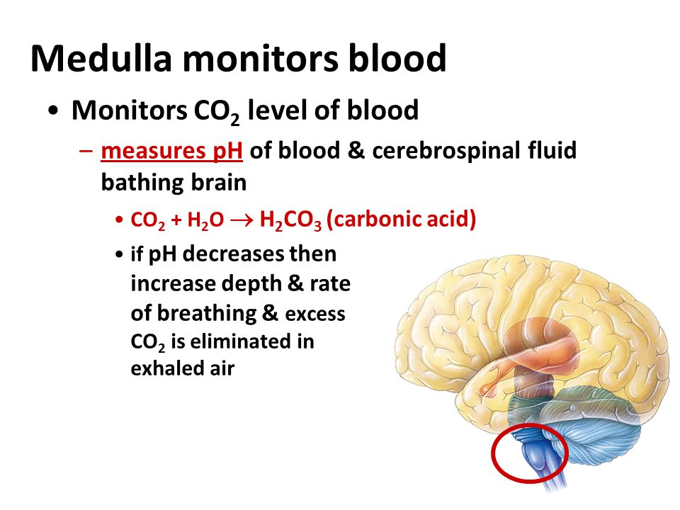 Autonomic breathing control Medulla sets rhythm & pons moderates it –coordinate respiratory, cardiovascular systems & metabolic demands Nerve sensors in walls of aorta & carotid arteries in neck detect O 2 & CO 2 in blood
