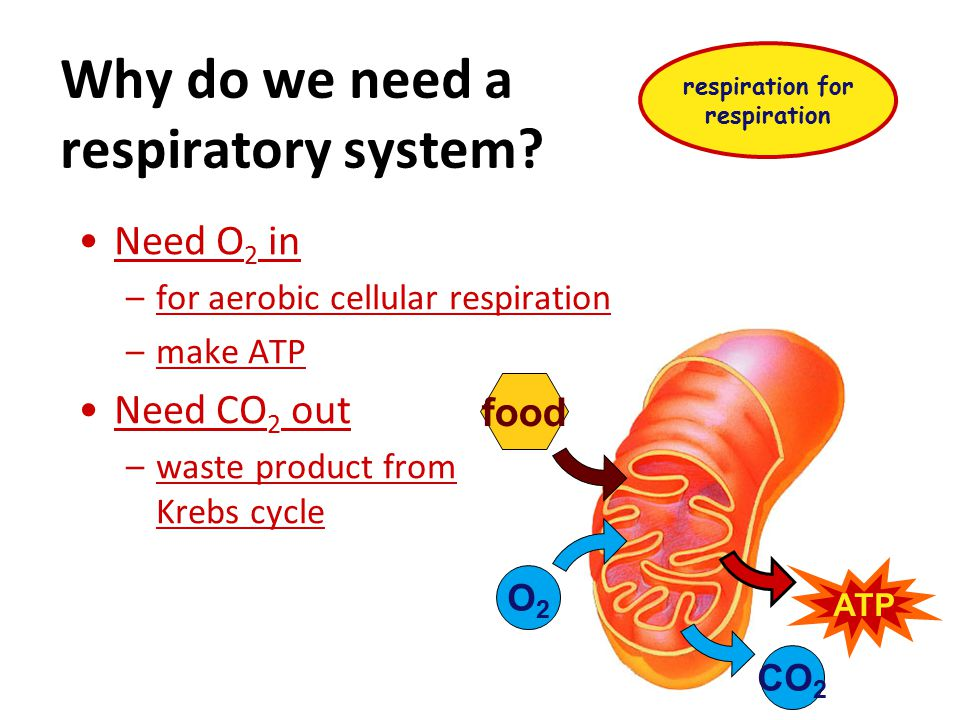 Why do we need a respiratory system.
