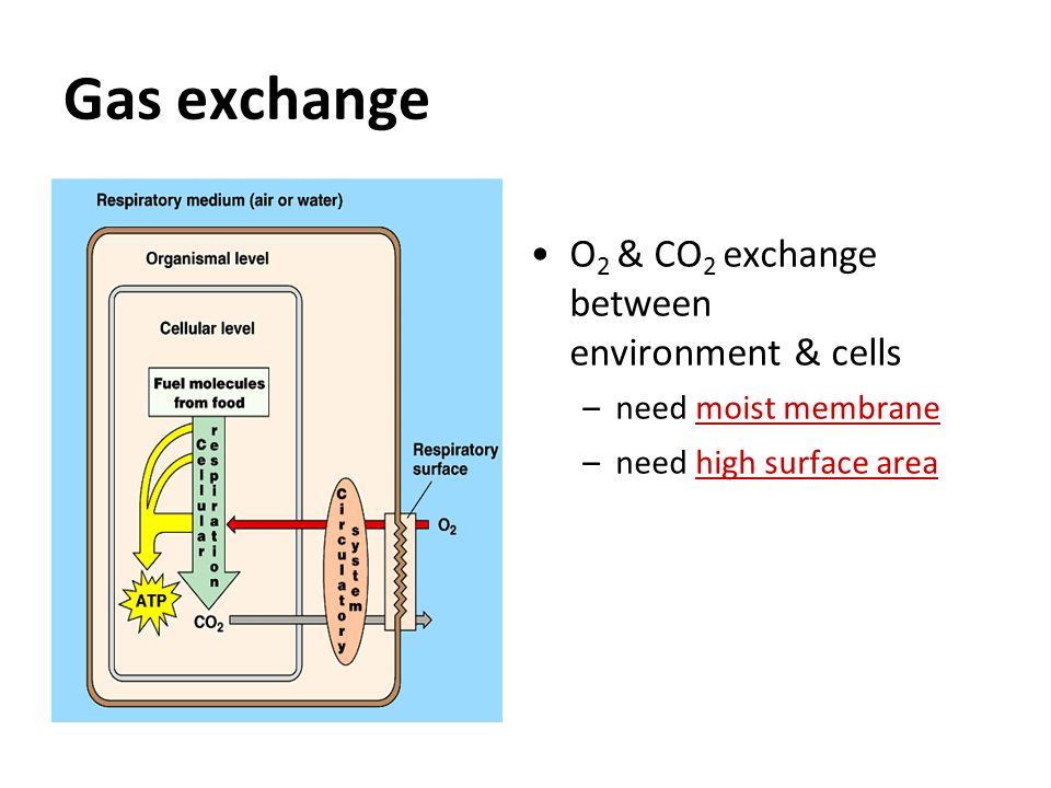Alveoli Gas exchange across thin epithelium of millions of alveoli –total surface area in humans ~100 m 2