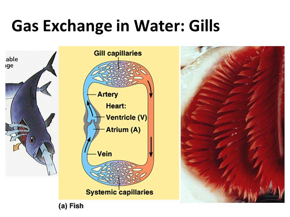 Gas Exchange in Water: Gills