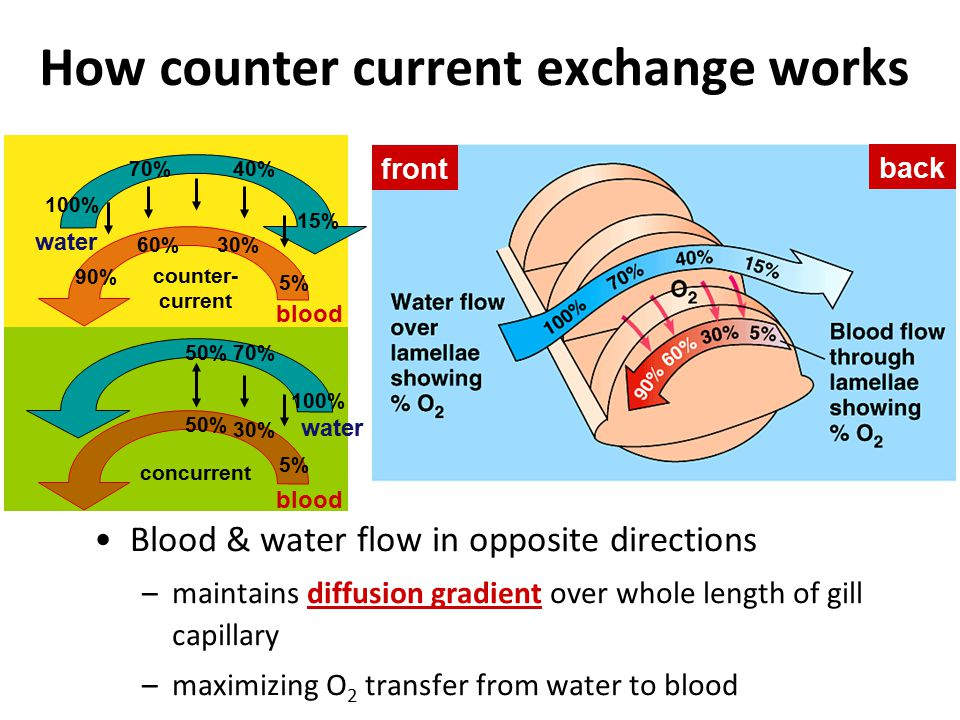 Diffusion of gases Concentration gradient & pressure drives movement of gases into & out of blood at both lungs & body tissue bloodlungs CO 2 O2O2 O2O2 bloodbody CO 2 O2O2 O2O2 capillaries in lungscapillaries in muscle