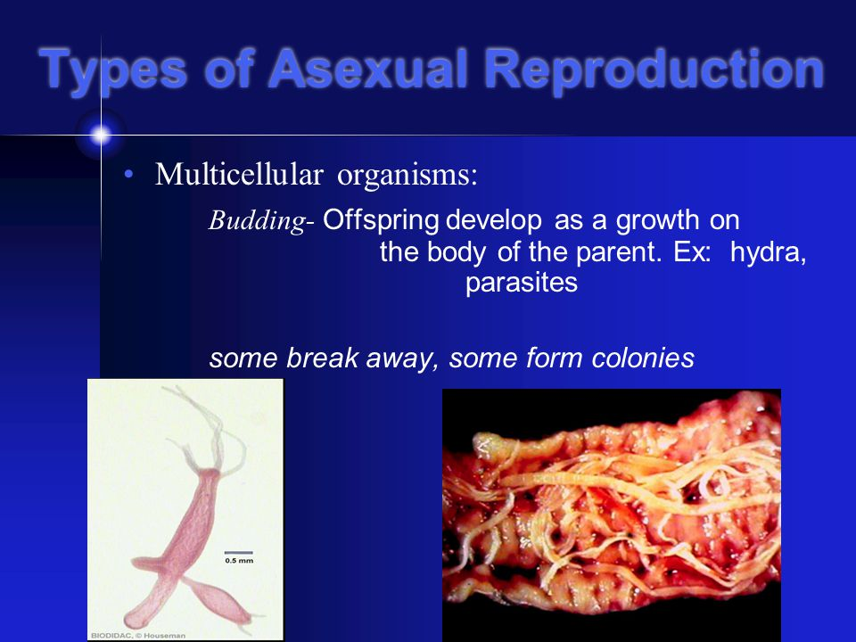 Types of Asexual Reproduction Multicellular organisms: Budding- Offspring develop as a growth on the body of the parent.