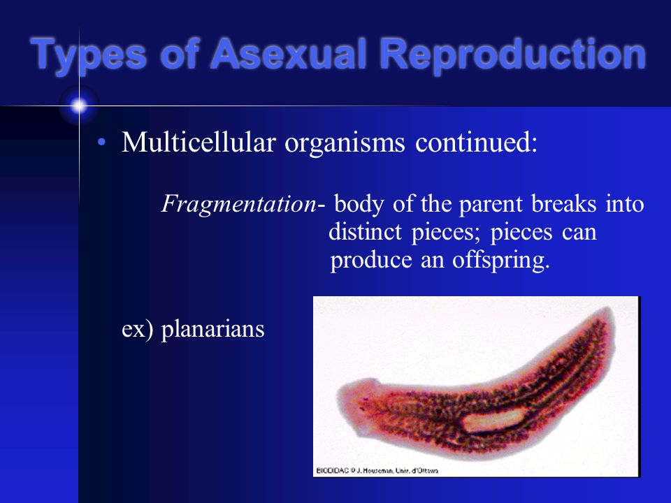 Types of Asexual Reproduction Multicellular organisms continued: Fragmentation- body of the parent breaks into distinct pieces; pieces can produce an offspring.