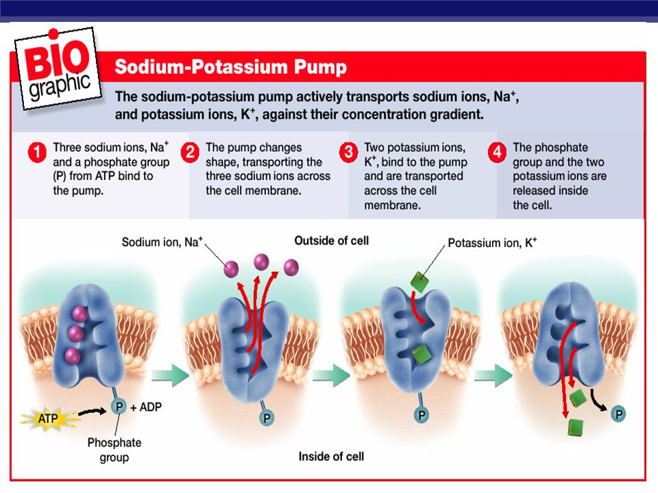 Cell Pumps Some types of active transport are performed by ____________ proteins called cell membrane _________. Sodium-Potassium Pump –The sodium-pot