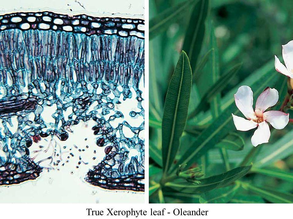 True Xerophyte leaf - Oleander