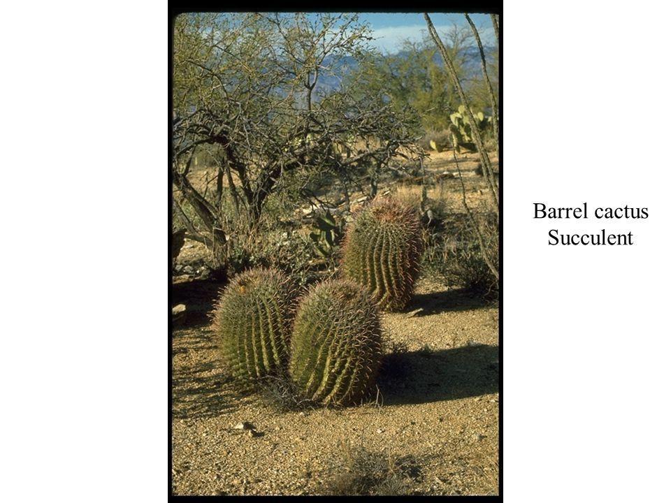 Barrel cactus Succulent