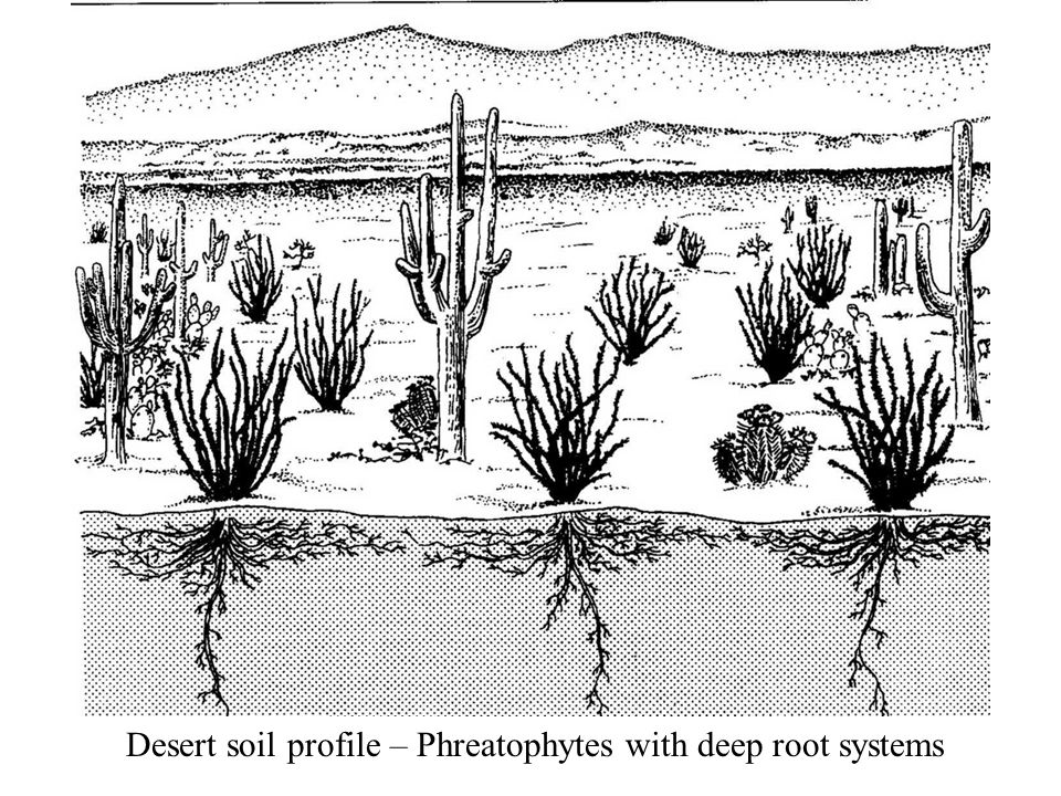 Desert soil profile – Phreatophytes with deep root systems