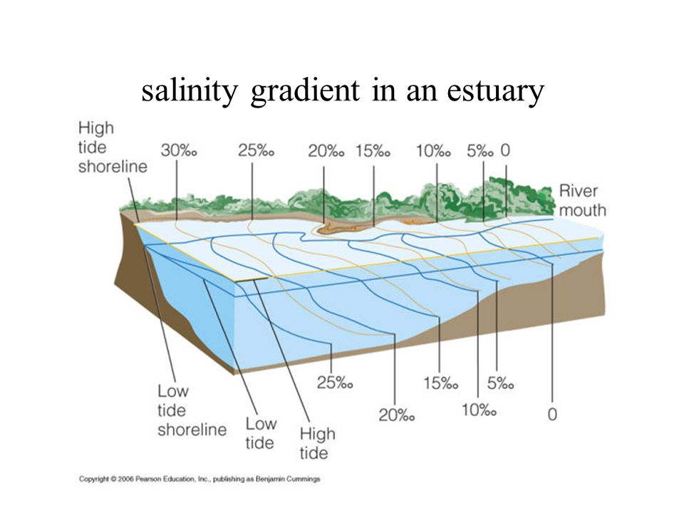 salinity gradient in an estuary