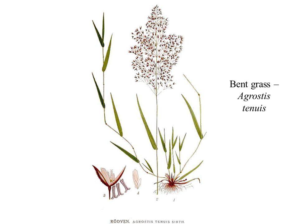 Bent grass – Agrostis tenuis
