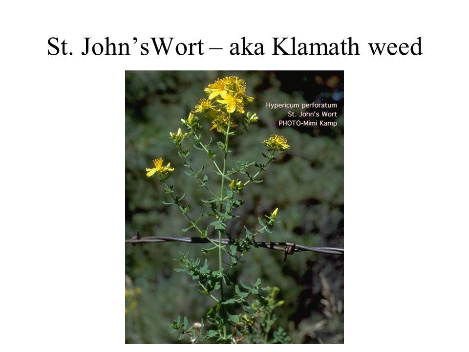 St. John'sWort – aka Klamath weed