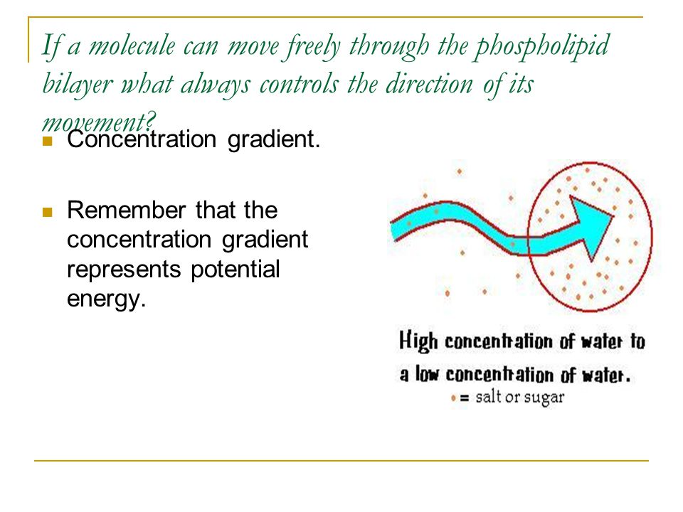If a molecule can move freely through the phospholipid bilayer what always controls the direction of its movement? Concentration gradient. Remember th