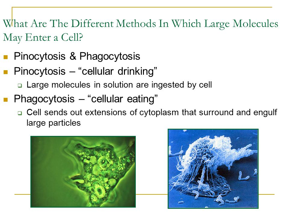 "What Are The Different Methods In Which Large Molecules May Enter a Cell? Pinocytosis & Phagocytosis Pinocytosis – ""cellular drinking""  Large molecul"