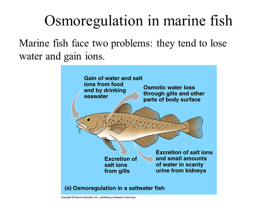 Osmoregulation in marine fish Marine fish face two problems: they tend to lose water and gain ions.