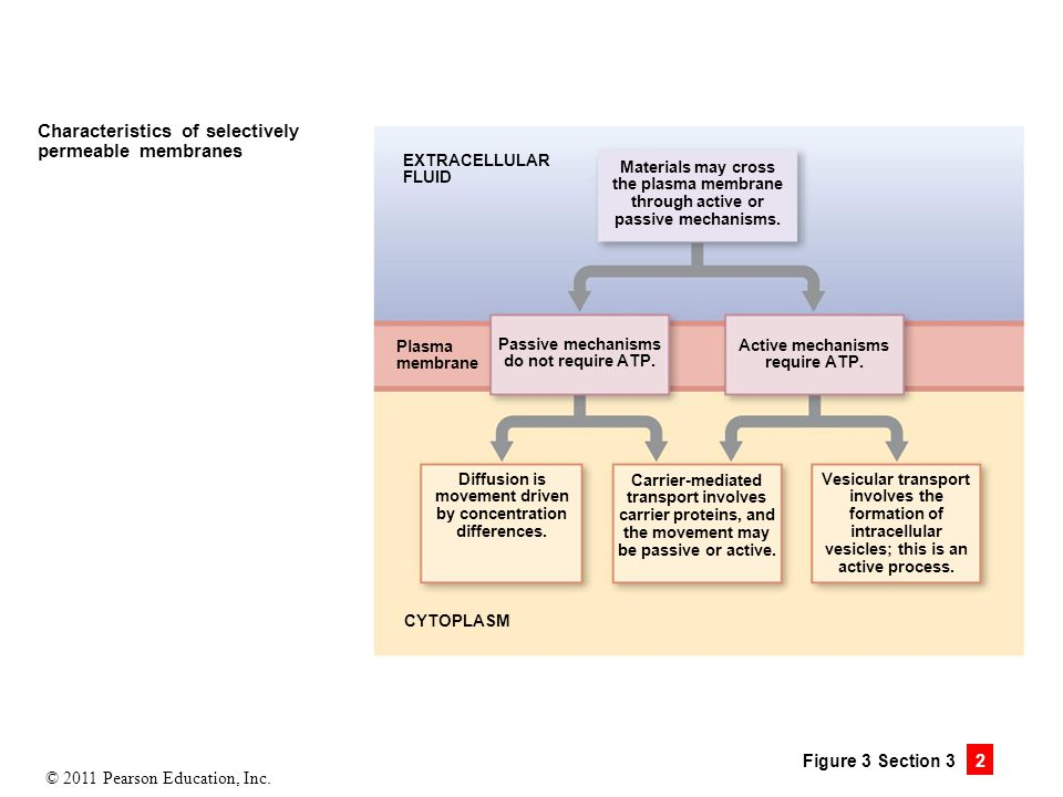 © 2011 Pearson Education, Inc. Figure 3 Section 3 2 Characteristics of selectively permeable membranes EXTRACELLULAR FLUID CYTOPLASM Materials may cro