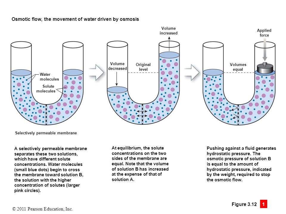 © 2011 Pearson Education, Inc. Figure 3.12 1 Osmotic flow, the movement of water driven by osmosis Water molecules Solute molecules Selectively permea