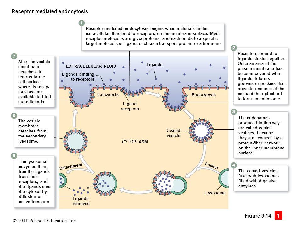 © 2011 Pearson Education, Inc. Figure 3.14 1 Receptor-mediated endocytosis Receptors bound to ligands cluster together. Once an area of the plasma mem