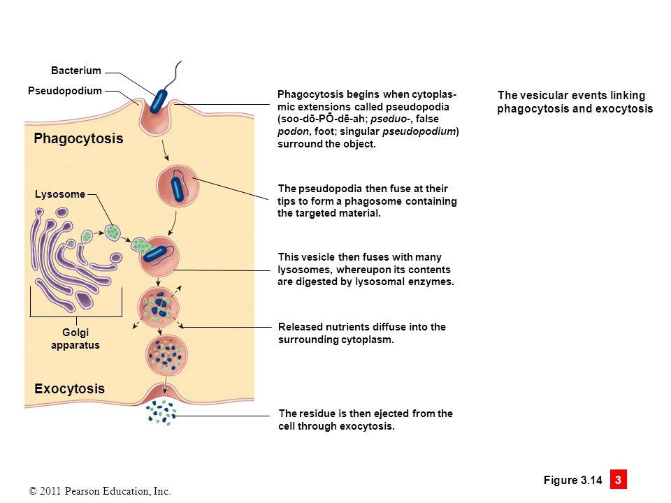 © 2011 Pearson Education, Inc. Figure 3.14 3 Bacterium Pseudopodium Phagocytosis Lysosome Golgi apparatus Exocytosis Phagocytosis begins when cytoplas