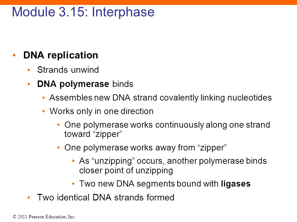 © 2011 Pearson Education, Inc. Module 3.15: Interphase DNA replication Strands unwind DNA polymerase binds Assembles new DNA strand covalently linking
