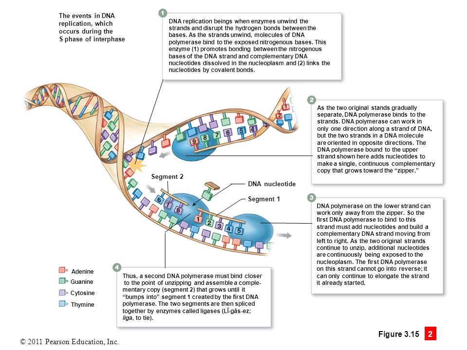 © 2011 Pearson Education, Inc. Figure 3.15 2 The events in DNA replication, which occurs during the S phase of interphase DNA replication beings when