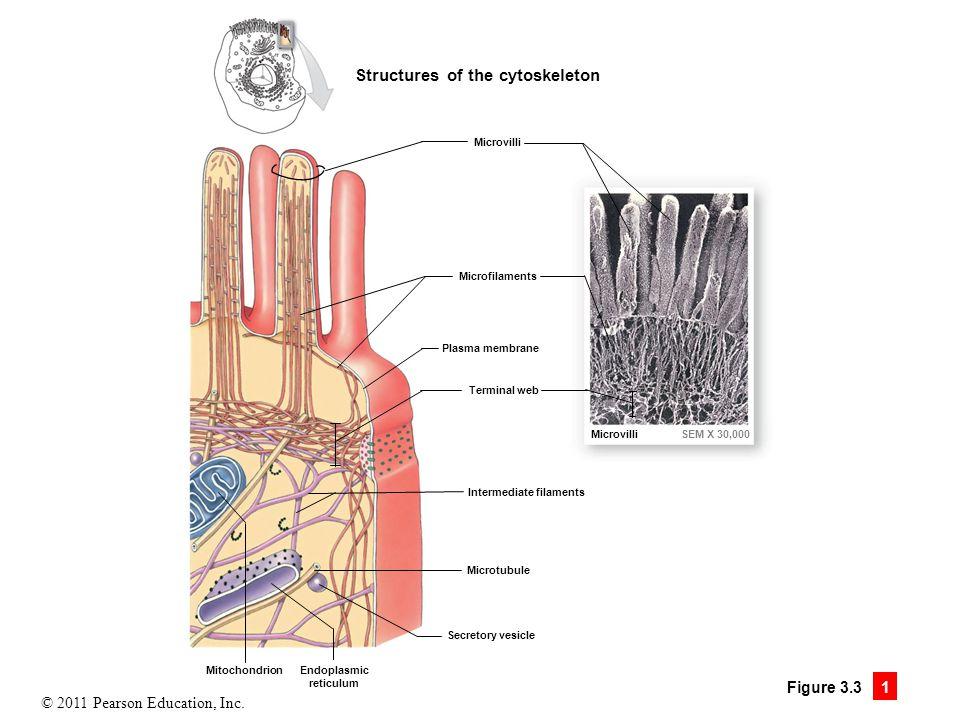 © 2011 Pearson Education, Inc. Figure 3.3 1 Structures of the cytoskeleton Microvilli Microfilaments Plasma membrane Terminal web Intermediate filamen
