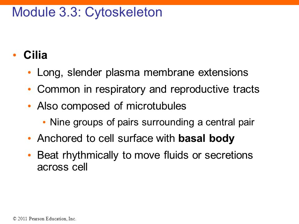 © 2011 Pearson Education, Inc. Module 3.3: Cytoskeleton Cilia Long, slender plasma membrane extensions Common in respiratory and reproductive tracts A