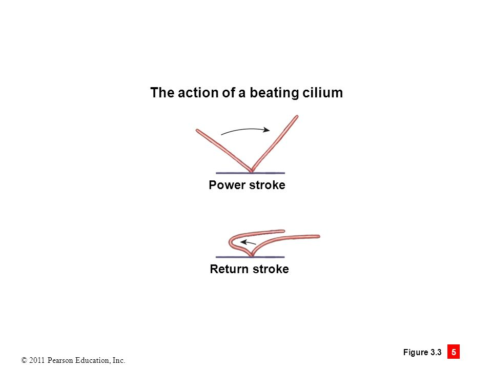 © 2011 Pearson Education, Inc. Figure 3.3 5 The action of a beating cilium Power stroke Return stroke