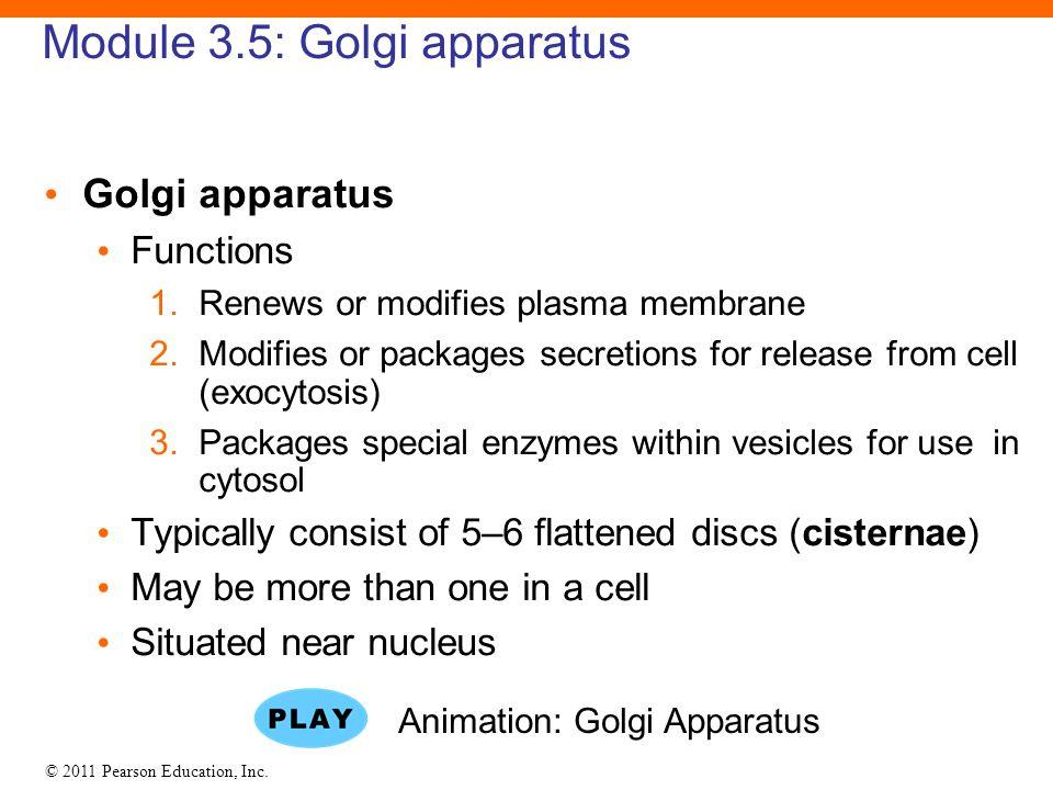 © 2011 Pearson Education, Inc. Module 3.5: Golgi apparatus Golgi apparatus Functions 1.Renews or modifies plasma membrane 2.Modifies or packages secre