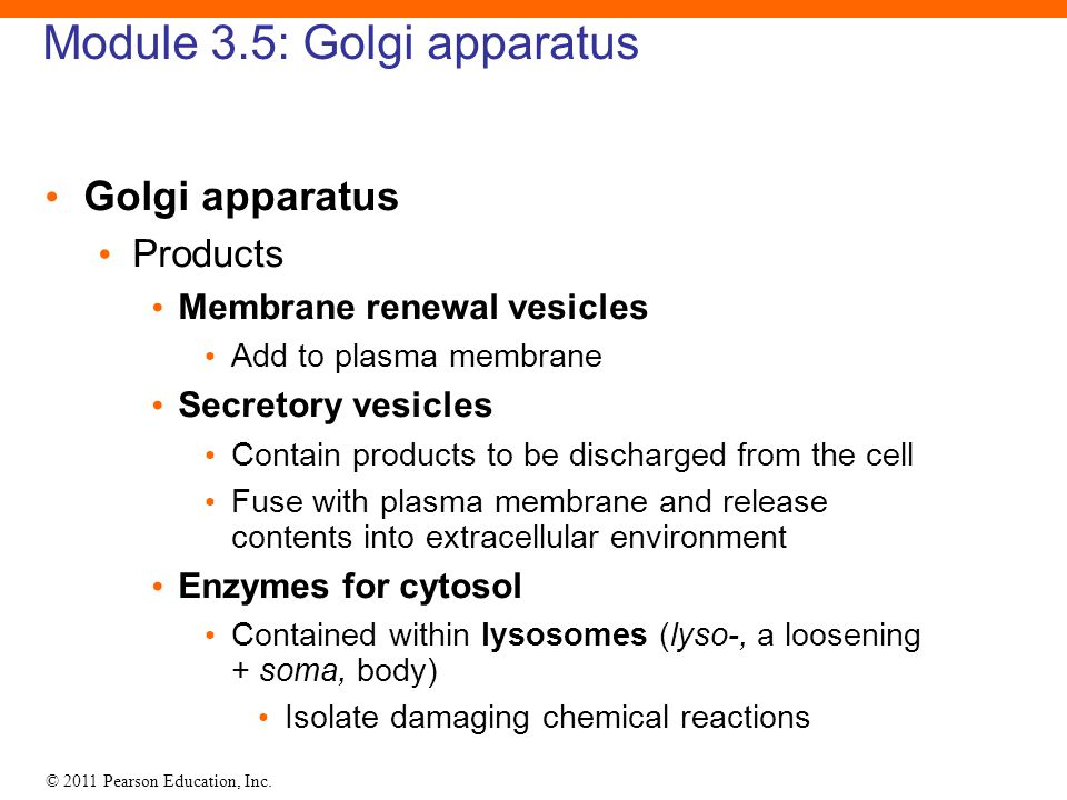 © 2011 Pearson Education, Inc. Module 3.5: Golgi apparatus Golgi apparatus Products Membrane renewal vesicles Add to plasma membrane Secretory vesicle