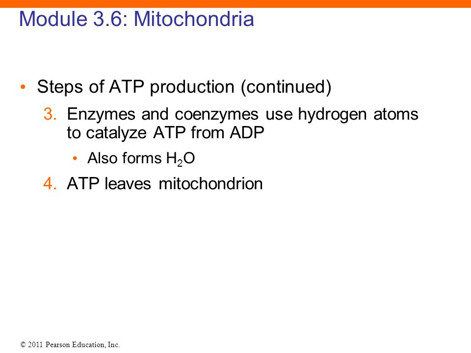 © 2011 Pearson Education, Inc. Module 3.6: Mitochondria Steps of ATP production (continued) 3.Enzymes and coenzymes use hydrogen atoms to catalyze ATP