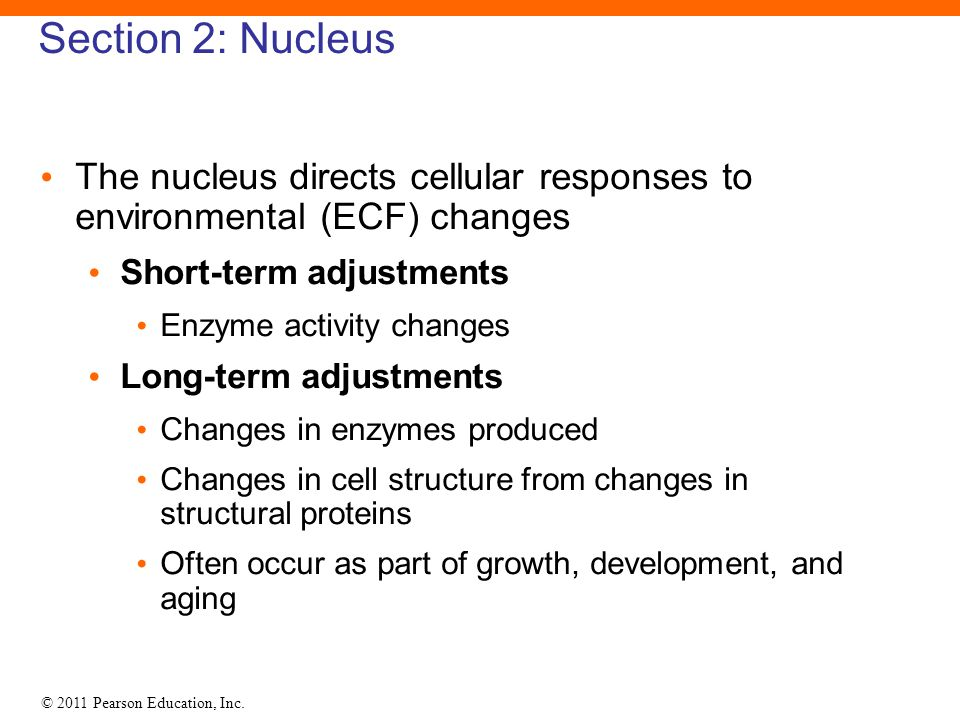 © 2011 Pearson Education, Inc. Section 2: Nucleus The nucleus directs cellular responses to environmental (ECF) changes Short-term adjustments Enzyme