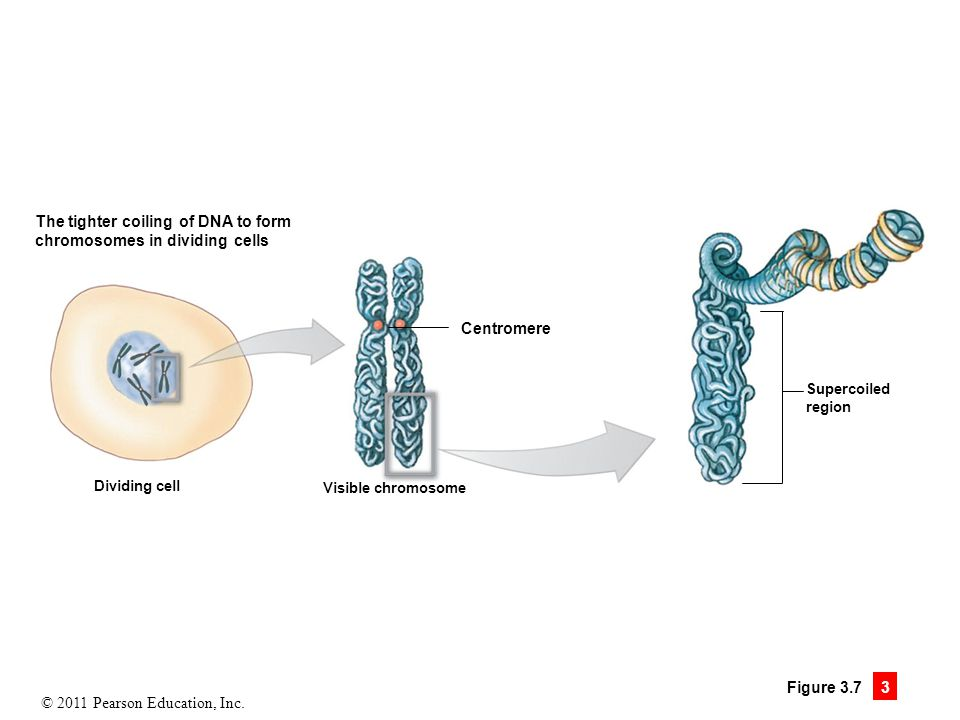 © 2011 Pearson Education, Inc. Figure 3.7 3 The tighter coiling of DNA to form chromosomes in dividing cells Dividing cell Centromere Visible chromoso