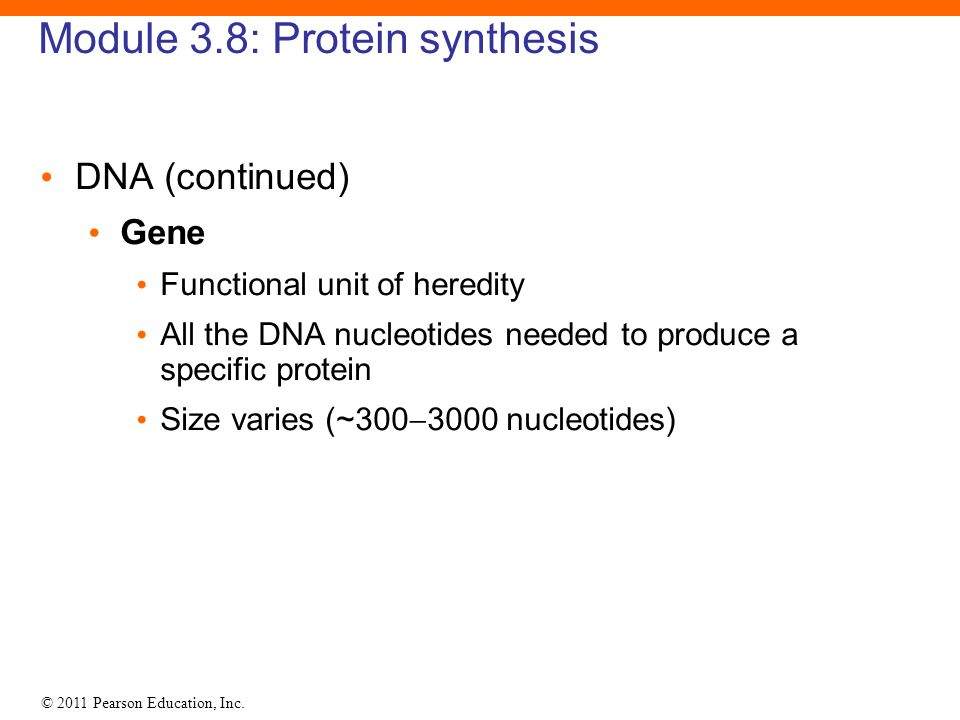 © 2011 Pearson Education, Inc. Module 3.8: Protein synthesis DNA (continued) Gene Functional unit of heredity All the DNA nucleotides needed to produc
