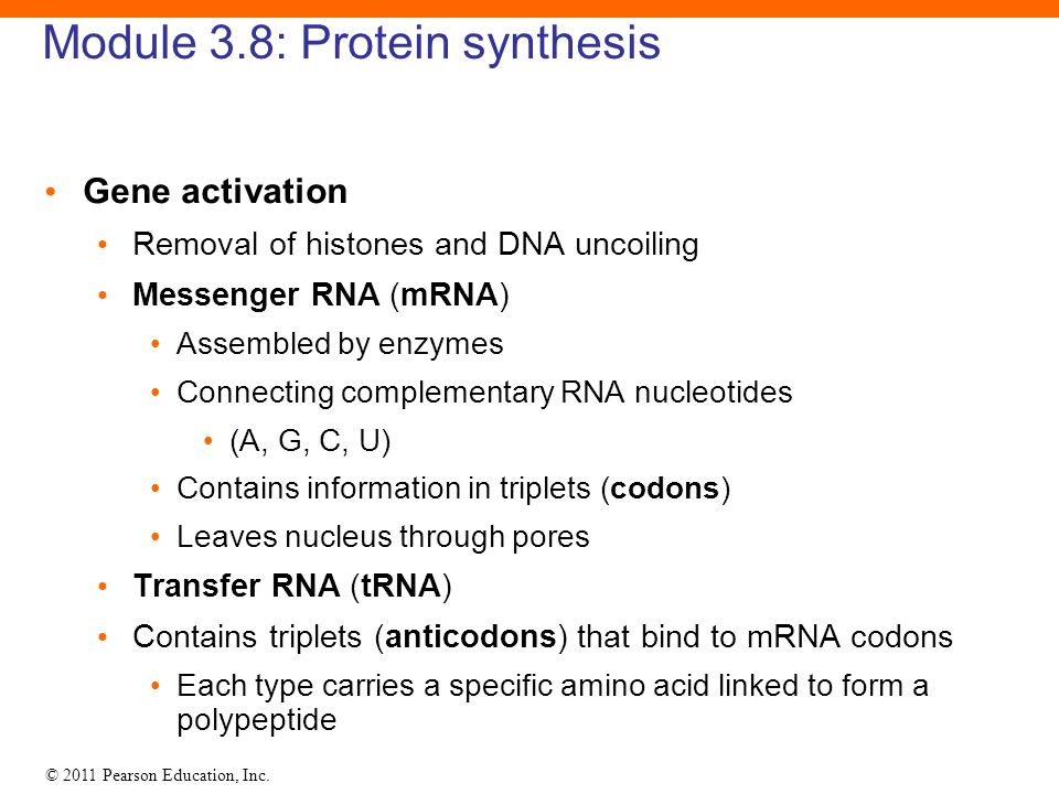 © 2011 Pearson Education, Inc. Module 3.8: Protein synthesis Gene activation Removal of histones and DNA uncoiling Messenger RNA (mRNA) Assembled by e
