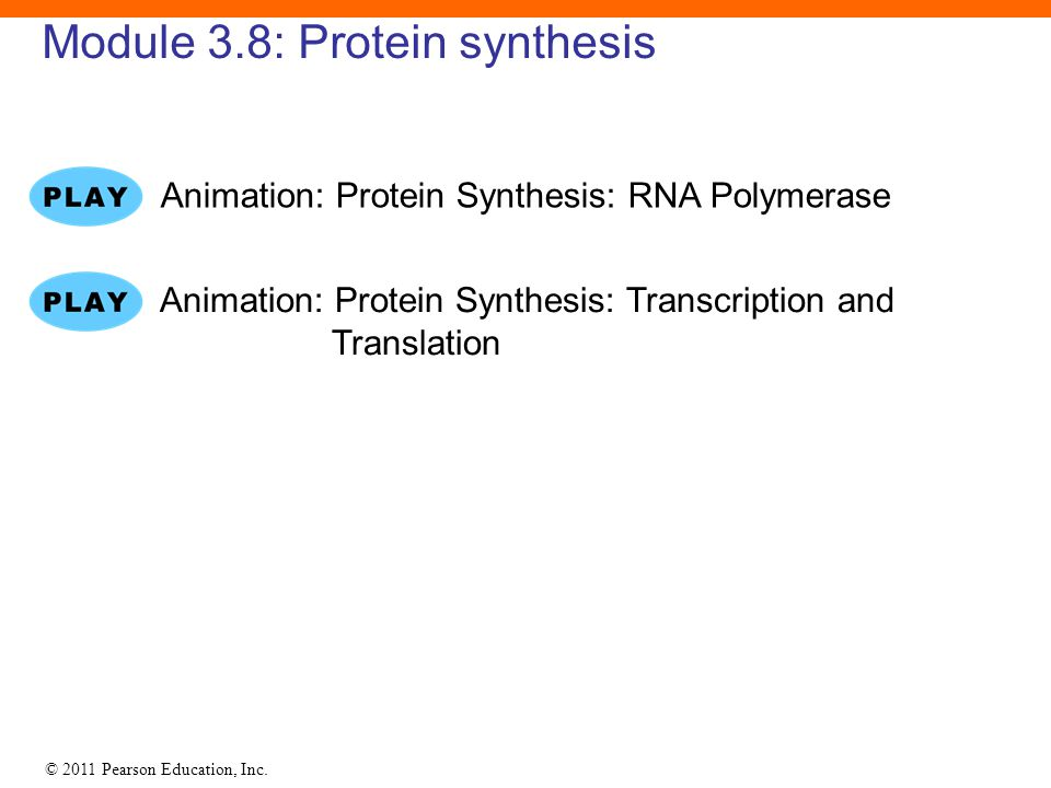 © 2011 Pearson Education, Inc. Module 3.8: Protein synthesis Animation: Protein Synthesis: RNA Polymerase Animation: Protein Synthesis: Transcription