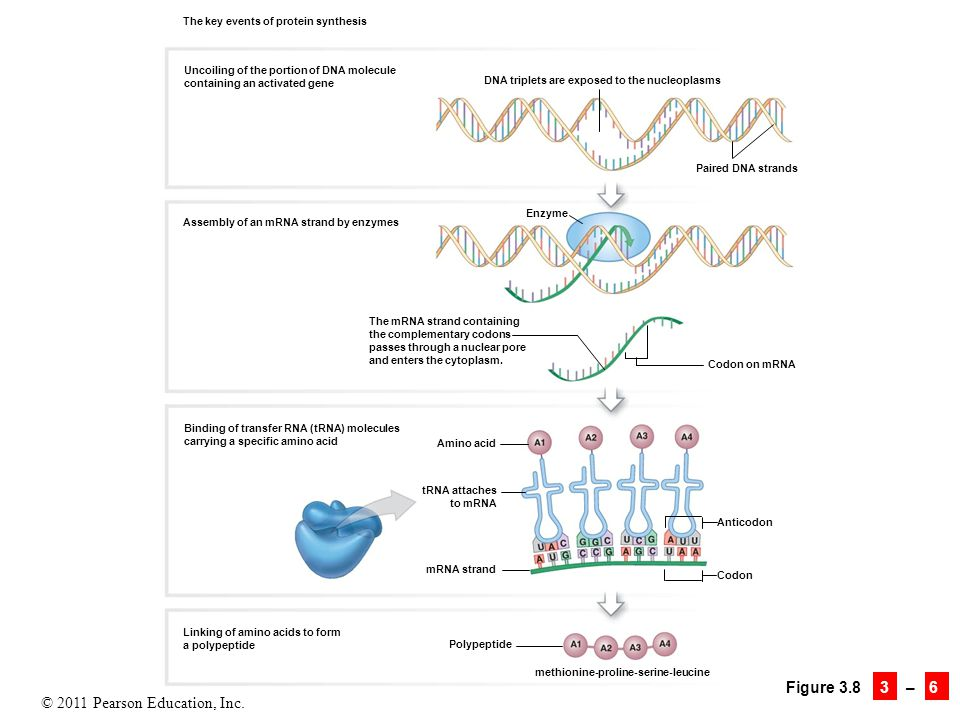 © 2011 Pearson Education, Inc. Figure 3.8 3 – 6 The key events of protein synthesis Uncoiling of the portion of DNA molecule containing an activated g