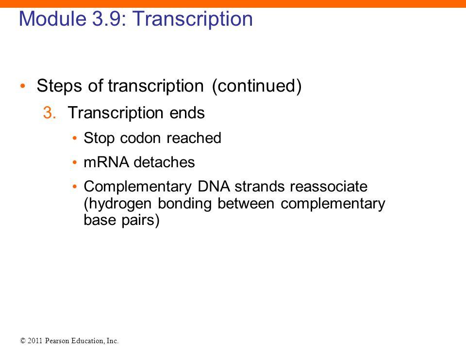 © 2011 Pearson Education, Inc. Module 3.9: Transcription Steps of transcription (continued) 3. Transcription ends Stop codon reached mRNA detaches Com