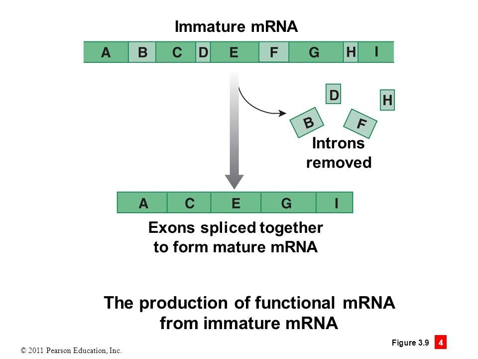 © 2011 Pearson Education, Inc. Figure 3.9 4 The production of functional mRNA from immature mRNA Immature mRNA Introns removed Exons spliced together