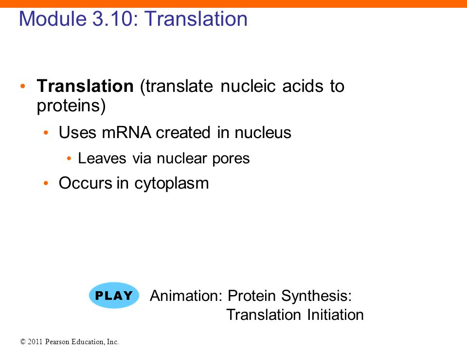 © 2011 Pearson Education, Inc. Module 3.10: Translation Translation (translate nucleic acids to proteins) Uses mRNA created in nucleus Leaves via nucl