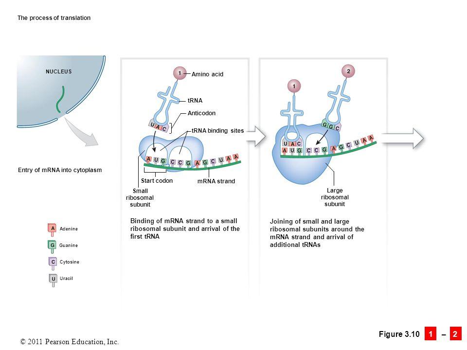 © 2011 Pearson Education, Inc. Figure 3.10 1 – 2 The process of translation NUCLEUS Entry of mRNA into cytoplasm Adenine Guanine Cytosine Uracil Bindi