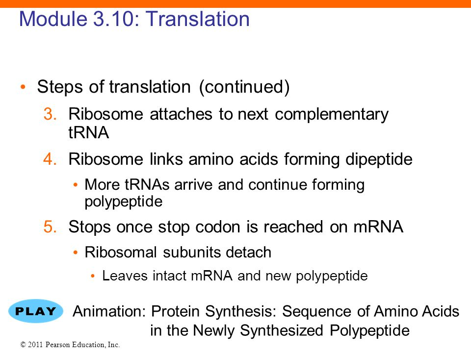 © 2011 Pearson Education, Inc. Module 3.10: Translation Steps of translation (continued) 3.Ribosome attaches to next complementary tRNA 4.Ribosome lin