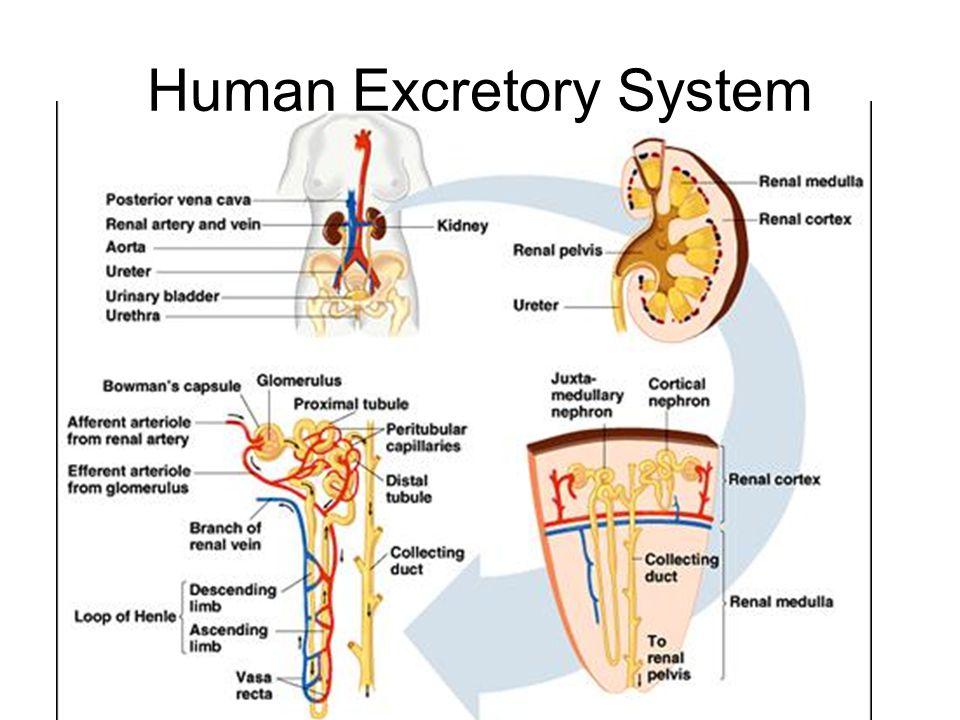Human Excretory System