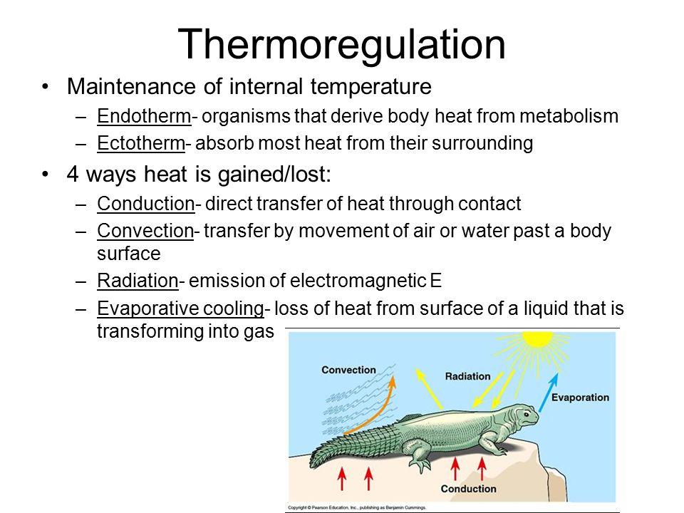 Thermoregulation Maintenance of internal temperature –Endotherm- organisms that derive body heat from metabolism –Ectotherm- absorb most heat from their surrounding 4 ways heat is gained/lost: –Conduction- direct transfer of heat through contact –Convection- transfer by movement of air or water past a body surface –Radiation- emission of electromagnetic E –Evaporative cooling- loss of heat from surface of a liquid that is transforming into gas
