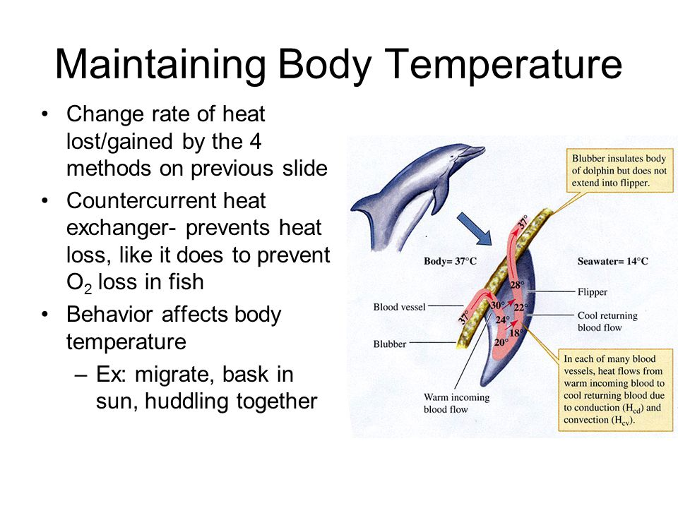 Maintaining Body Temperature Change rate of heat lost/gained by the 4 methods on previous slide Countercurrent heat exchanger- prevents heat loss, like it does to prevent O 2 loss in fish Behavior affects body temperature –Ex: migrate, bask in sun, huddling together